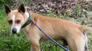 Proponen collar verde para los perros que sus dueños levanten sus excrementos