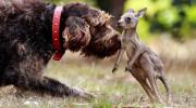Un perro rescata a un canguro bebé huérfano